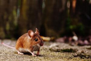 rodent control tulsa