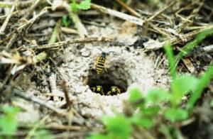 yellow jacket extermination nest removal tulsa ok